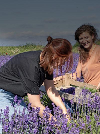 Texelse Lavendel
